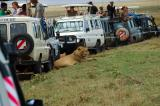 this lion caused a real traffic jam