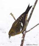 Bec-croisé bisfacié femelle 3 Repentigny 15-02-2009.jpg