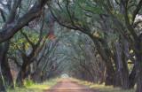 The Live Oaks of Evergreen Plantation