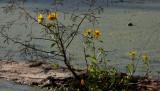 Bur-marigold (Bidens laevis)