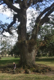 Little Christmas Visitor Plays on Roots of Ancient Live Oak Tree