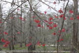 Mother Nature Decorates with the Swamp Maple