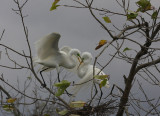 Great Egrets Busy With Nest Building