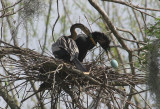 Anhingas Robbing the Nest of the Great Egret