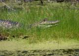 Alligator in Waiting