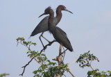 Lake Bouef's Blue Herons