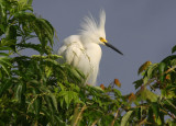Little Snowy Egret in His Mating Finery