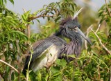 Tricolored Heron in Mating Finery