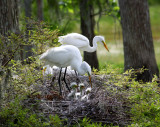 Newly Hatched Egrets