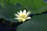 Graine a' Voler - American Lotus