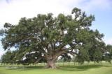 Live Oak Tree Shelters the Dead at Louisiana Prison