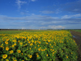 Just One More Sunflower Field Shot