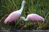 Roseate Spoonbill Couple