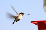 Hungry Little Hummingbird