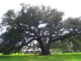 The Randall Oak - centuries old live oak