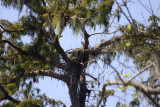 Eagles Hopefully Building New Nest - September 23,  2012