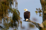Bald Eagle -He's Back and Has to Build a New Nest - September 25,  2012