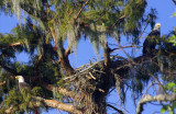 Bald Eagles Building a Nest