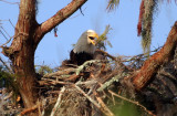 Bald Eagle - Working hard with branch she just carried in  to finish the nest - September 28, 2012
