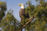 Bald Eagle - Male -September 27, 2012
