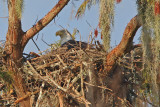 Bald Eagle Trying out the Nest for Size-October 2, 2012