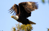 Bald Eagle - Lift Off - October 14, 2012