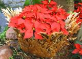 Pointsettias in Staghorn Fern baskets