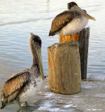 Louisiana Pelicans