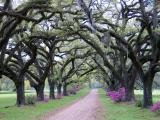 Live Oaks in Their New Clothes