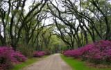 Afton Villa's Entrance of a Cathedral of Live Oaks and Azaleas