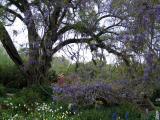 Live Oak Tree and Wisteria