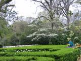 A Blooming Dogwood Tree Overlooks Clipped Boxwood