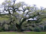 Ancient Live Oak at Afton Villa