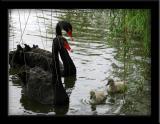 Lafreniere Park Swans