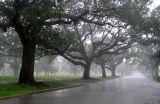Live Oaks in a Rainstorm