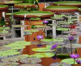 Reflections in a Lily Pond