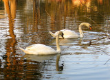 City Park's New Generation of Swans