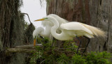 Louisiana Rookery of the Great White Egret