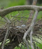 Beautiful Blue Egret Eggs in the Nest