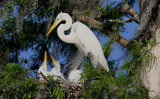 Egret Mother and Chicks in a Cypress Tree