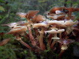 Armillaria Honey Fungus