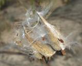 Milkweed Seed  Pod  Explosion