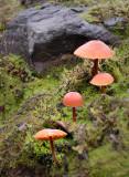 Fairy Caps