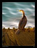Young Cormorant Fishing