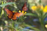 Butterflies - 20143.jpg