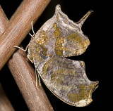 Tiger Leafwing