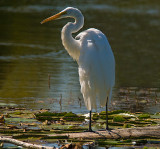 Great Egret (Two Images)