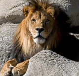 African Lion -- Four Images
