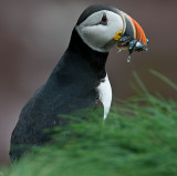 Atlantic Puffin # 12 - Two Images