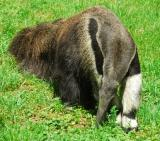 Close-Up Of An Anteater.  It Doesn't Get Any Better Than This!
